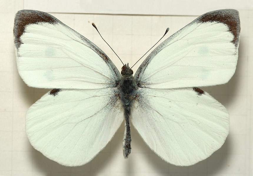 Pieris brassicae (large white or cabbage white butterfly); adult male. Museum set specimen.