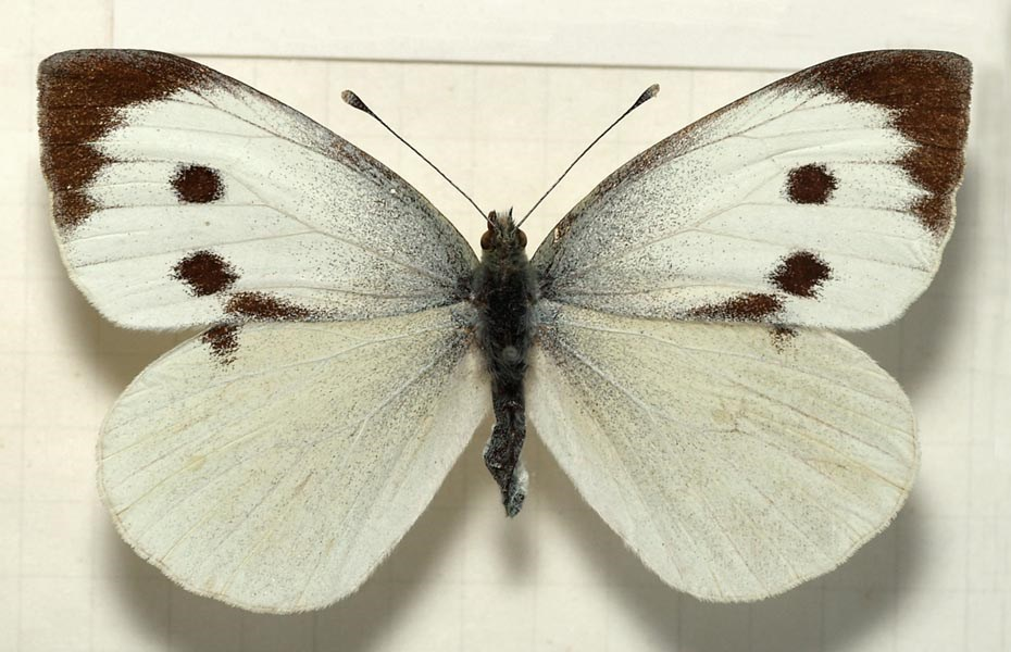 Pieris brassicae (large white or cabbage white butterfly); adult female. Museum set specimen.