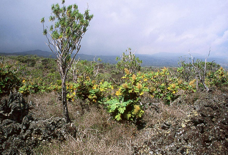Bocconia frutescens (parrot-weed; plume poppy; tree celandine); invading dry forest, with a native tree (Pleomele auwahiensis) in left foreground. Kanaio Natural Area Reserve, Maui, Hawaiian Islands, USA.