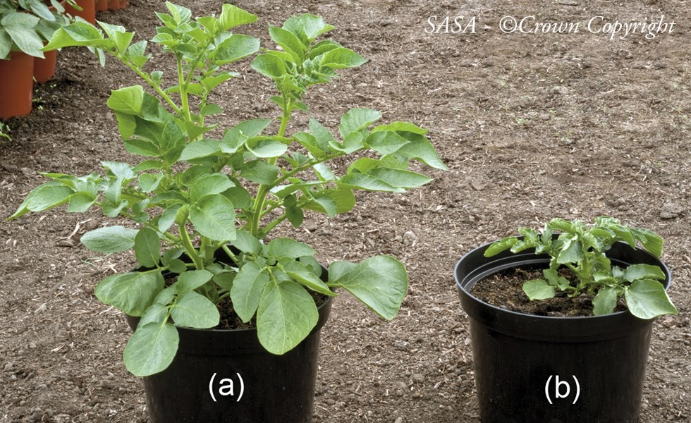 Dickeya solani on potato (Solanum tuberosum) cv. Estima. Plant (b) was grown from a seed potato vacuum infiltrated with a suspension of Dickeya solani, resulting in stunting and curling, wilting of leaves. Plant (a) is the healthy control.