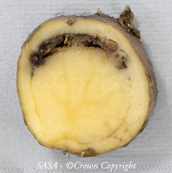 Tuber infection of potato (Solanum tuberosum) cv. Agria caused by Dickeya solani. Image is of an imported ware tuber intercepted in Scotland, UK in July 2009.
