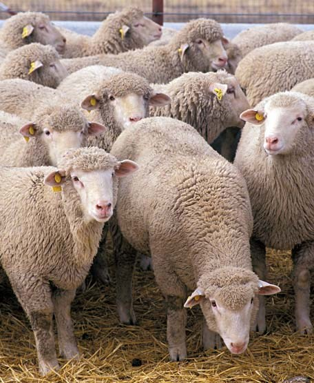 Ovis aries (sheep); research flock at the U.S. Sheep Experiment Station near Dubois, Idaho, USA.