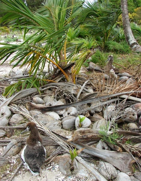 Cocos nucifera (coconut palm); seedling pile and Laysan albatross chicks. Cannon School field, Sand Island, Midway Atoll. June, 2008.