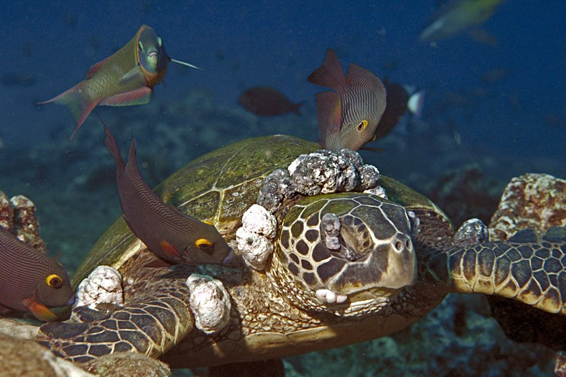 Hawaiian green turtle (Chelonia mydas) severely afflicted with Fibropapillomatosis (FP) tumours. The mouth tumors, which are unique to Hawaiian greens, can occur inside the mouth and throat, impairing both breathing and feeding.  Eye tumors impair vision and can blind the turtle. The large tumors around the flippers can impair swimming. Although FP tumors are benign, they can easily be a significant factor in a turtle's demise and result in death.