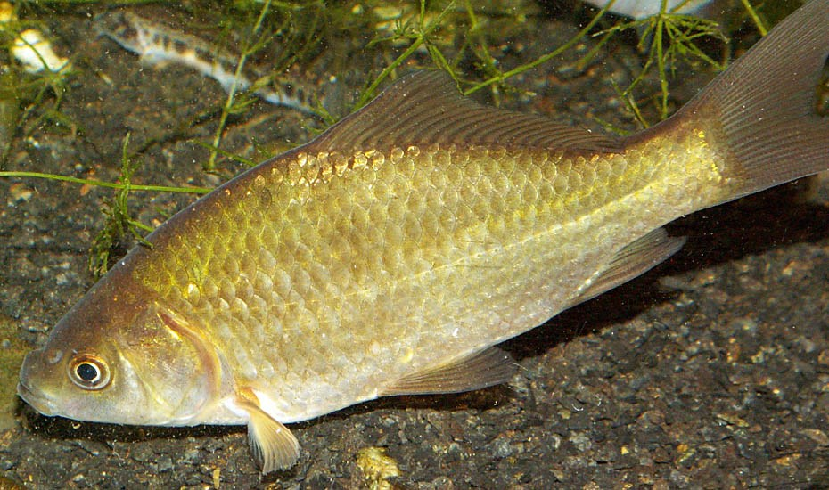 Carassius gibelio (Prussian carp); adult fish. Dutch specimen from Betuwe region in the province of Gelderland. July, 2006.