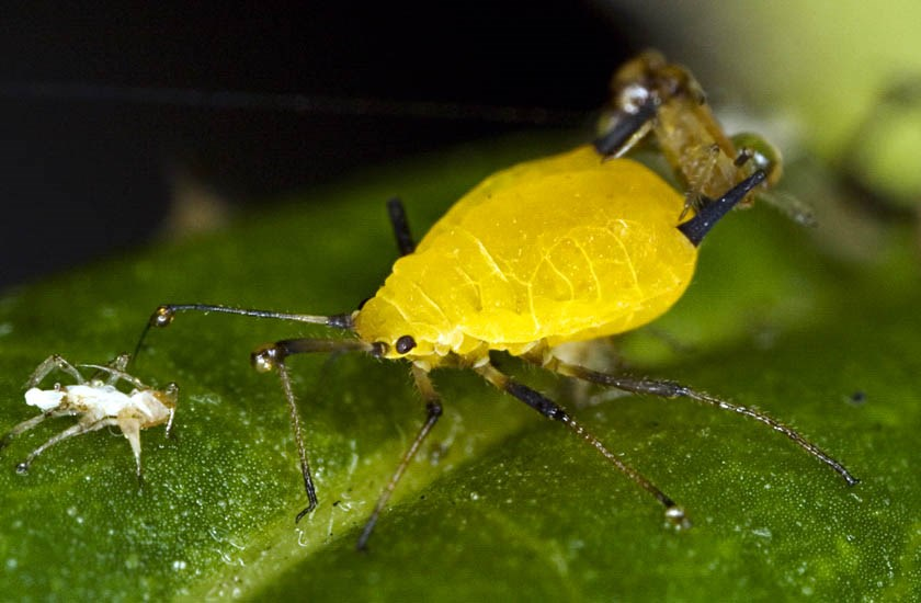 Aphis nerii (sweet pepper or oleander aphid); virginoparae on a leaf. Florida, USA.