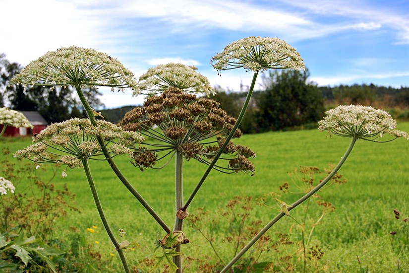 Heracleum persicum (Persian hogweed); temporal variation in the flowering phenology between primary and secondary umbels. Note that the primary umbels cosists of mature fruits (mericarps) whereas secondary umbels are at anthesis. Norway. August, 2013.