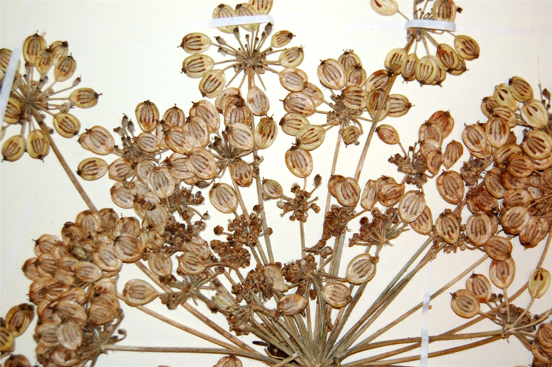 Heracleum persicum (Persian hogweed); seed morphology, herbarium specimen. Norway. June, 2012.