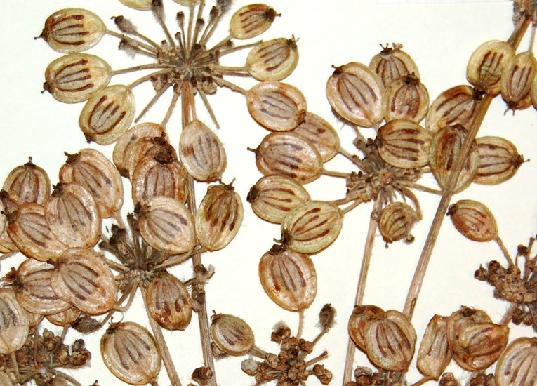 Heracleum persicum (Persian hogweed); close-view of seed morphology, herbarium specimen. Norway. June, 2012.