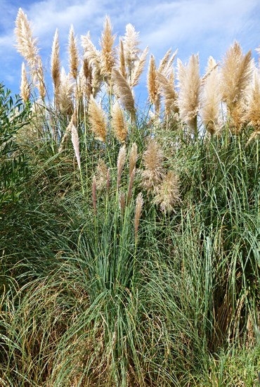 Cortaderia selloana (pampas grass); habit, dense roadside stand. Aveiro, Portugal. September, 2014.