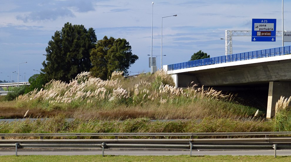 Cortaderia selloana (pampas grass); habit, growing alongside roads. Aveiro, Portugal. September, 2014.