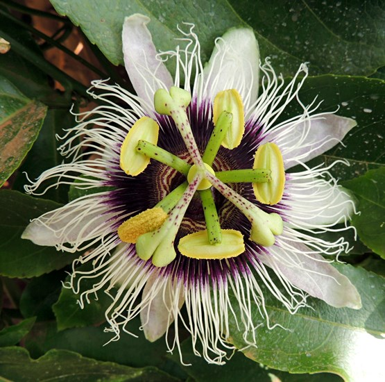 Passiflora edulis (passionfruit); flower. Uganda, north of Mount Elgon. July, 2014.