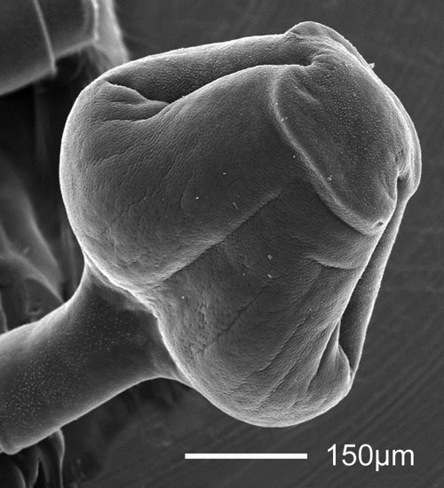 Bothriocephalus acheilognathi (Asian fish tapeworm); SEM - lateral view of the scolex. From humpback chub (Gila cypha), Little Colorado River, Grand Canyon, Colorado, USA.