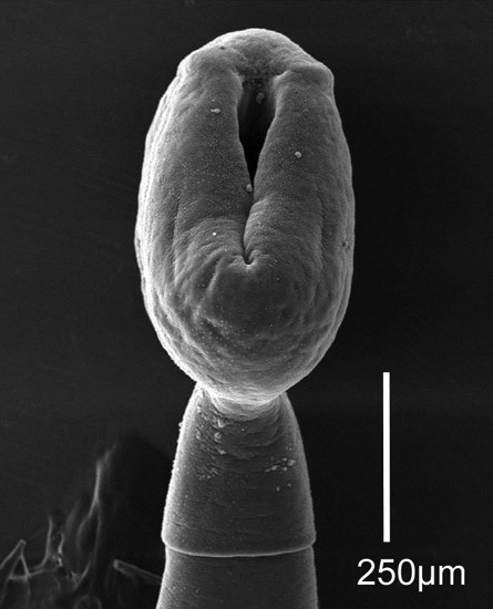 Bothriocephalus acheilognathi (Asian fish tapeworm); SEM - dorso-ventral view of the scolex. From non-native common carp (Cyprinus carpio). Litte Colorado River, Grand Canyon, Colorado, USA.