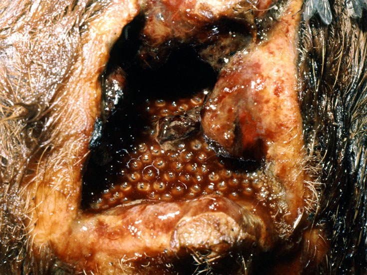 Chrysomya bezziana (Old World screw-worm); mature third instar larvae in a bovine wound.