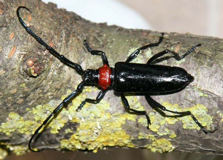 Aromia bungii (red necked longicorn); adult. Beetles are black and shiny, with bright red pronotum. Body length ranges from 20-40 mm.