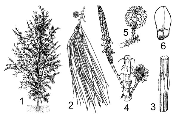 1. habit of young tree