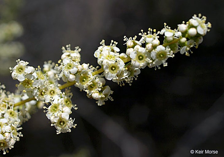 Adenostoma fasciculatum (chamise); close view of flowers.