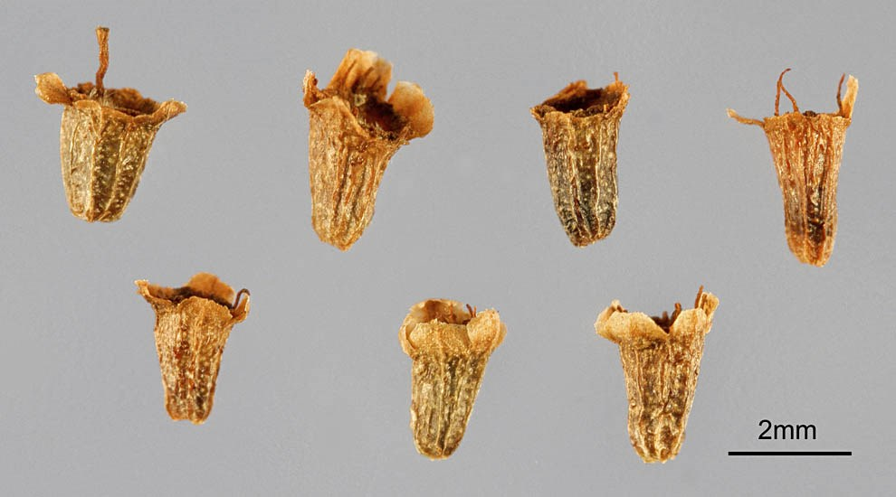 Adenostoma fasciculatum (chamise); seeds. Note scale.