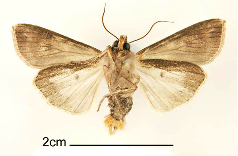 Mythimna unipuncta (rice armyworm); adult male, ventral view. Walnut Creek, Central Costa Co., California, USA. May, 1962.