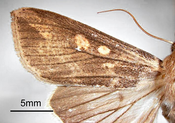 Mythimna unipuncta (rice armyworm); adult male, upper forwing. Walnut Creek, Central Costa Co., California, USA. May, 1962.