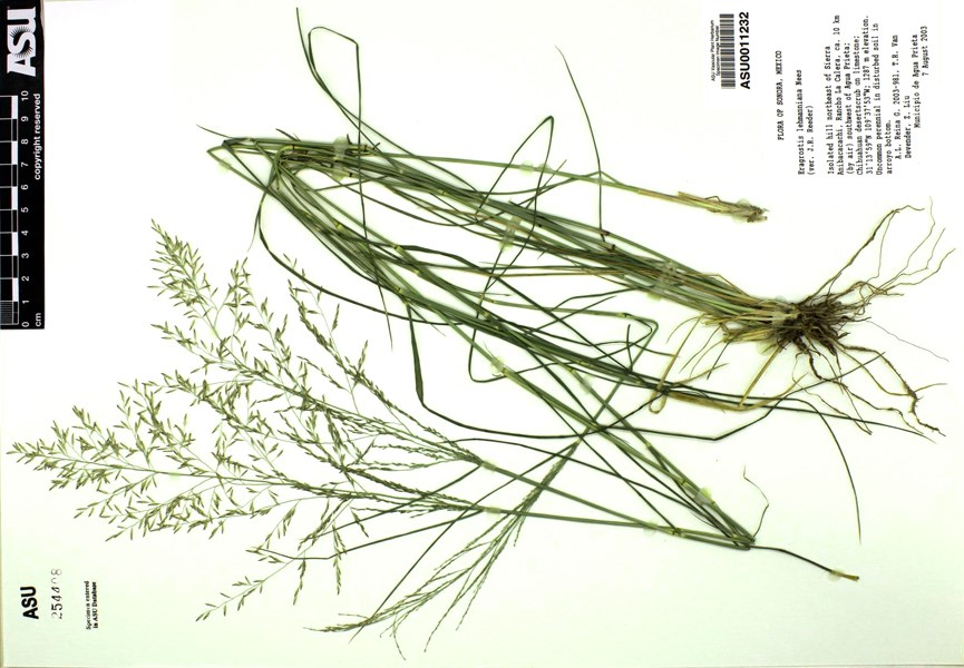 Eragrostis lehmanniana (Lehmann lovegrass); herbarium specimen. Note cm scale. Upper San Pedro River floodplain at Contention, Cochise County, Arizona, USA. Collected on 25 July 2001. Elevation: 1173 meters. Habitat: Mesquite-desert willow patch.