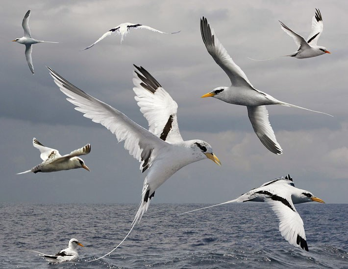 Phaethon lepturus (white-tailed tropicbird); a composite image, showing various flight attitudes of this very distinctive bird. This species is often predated on its nesting grounds by Rattus rattus (the black or ship rat).