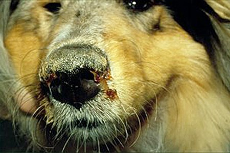 Canine distemper (hardpad disease): symptoms. Dog infected with canine distemper: Note the purulent nasal discharge and hyperkeratotic nose.