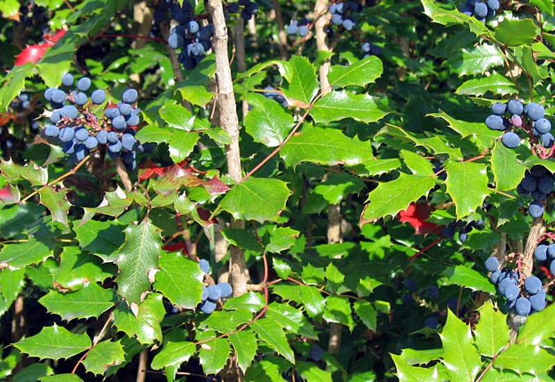Mahonia aquifolium (Oregongrape); habit, showing foliage and fruits.