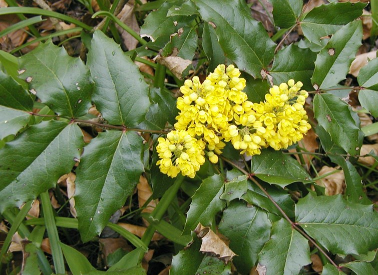 Mahonia aquifolium (Oregon grape); Dow Gardens, Midland, Michigan, USA.