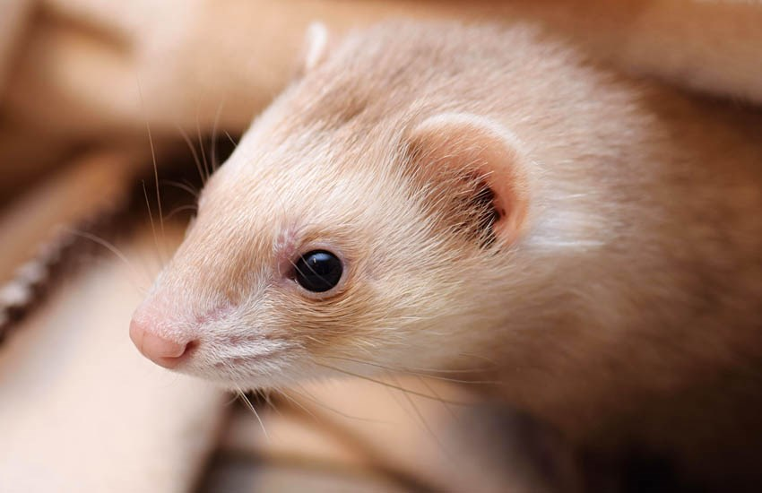 Mustela furo (ferret); adult, with white (not albino) pelage.