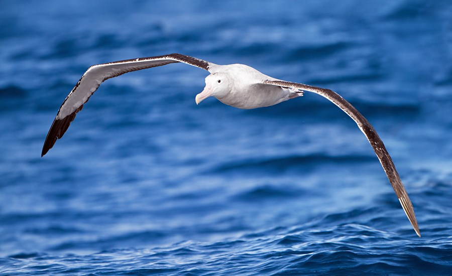 Diomedea exulans (wandering albatross); adult, doing what it does best, flying. East of the Tasman Peninsula, Tasmania, Australia. February, 2012.