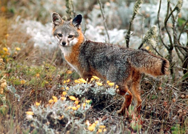 Urocyon littoralis (island fox); adult. A threatened species. Channel Islands, California, USA.