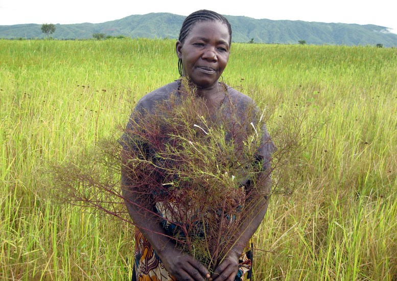 Rhamphicarpa fistulosa; rice farmer showing R. fistulosa that has invaded her crop. Kyela, Tanzania. May, 2010.