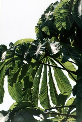 Cecropia peltata (trumpet tree); foliage showing leaf structure, Costa Rica.