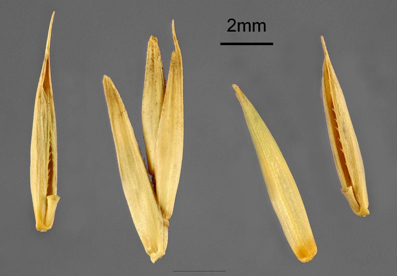 Agropyron cristatum (crested wheatgrass); seeds. USA.