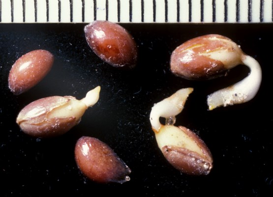 Seeds of C. orbiculatus germinating (scale bar mm).
