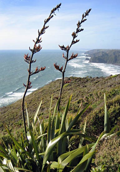 Phormium tenax (New Zealand flax); flowering habit, in native environment. Piha, West Auckland, New Zealand. December 2006.