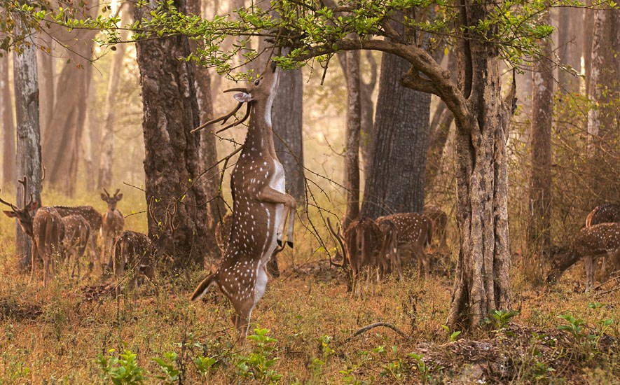 Axis axis (Indian spotted deer, or chital); stag (in native range) attempting to browse on a high branch. Nagarhole National Park, Karnataka, India. March 2010.