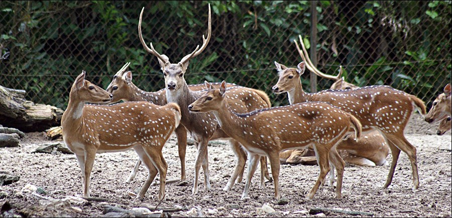 Axis axis (Indian spotted deer, or chital); stags and does. Zoo Negara, Malaysia. September 2009.
