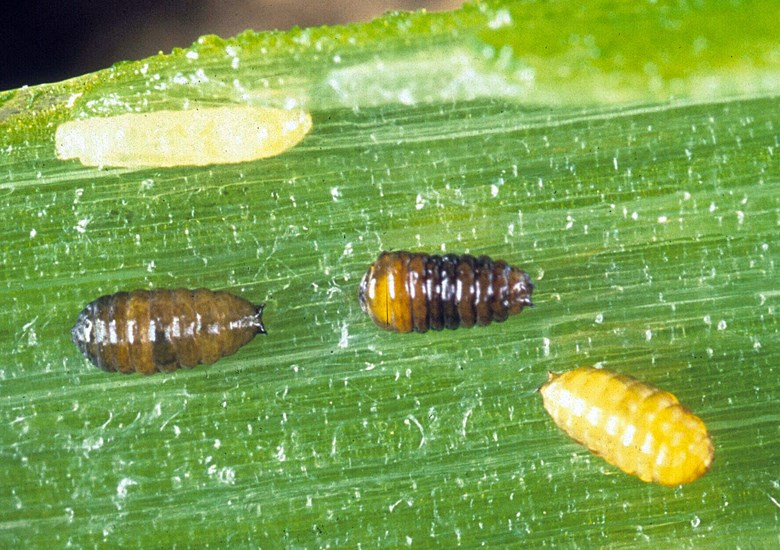 Liriomyza huidobrensis (serpentine leafminer). pupae (and a single larva above them). Indonesia.