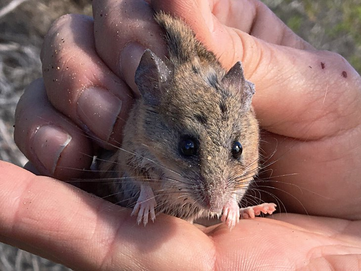 Peromyscus fraterculus (Northern Baja Deermouse); adult, captive specimen. Note long vibrissae. Cabrillo National Monument, San Diego County, USA. May 21, 2016.