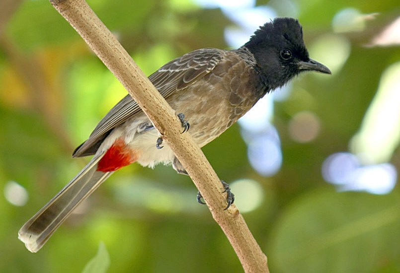 Pycnonotus cafer (red-vented Bulbul). adult. Padiyathalawa, Ampara district, Sri Lanka. May 2011.