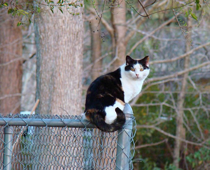 Felis catus (cat); adult, sat on wire fence. USA.