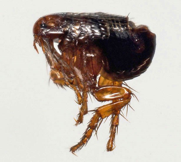 Felis catus (cat); an adult cat flea (Ctenocephalides felis), a typical ectoparasite of cats, both domestic and feral.