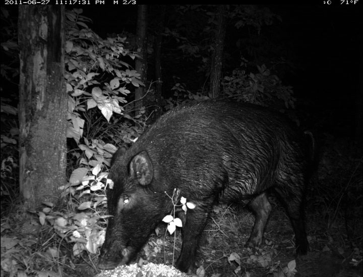 Sus scrofa (feral type); adult, foraging at night. June 2011. USA.