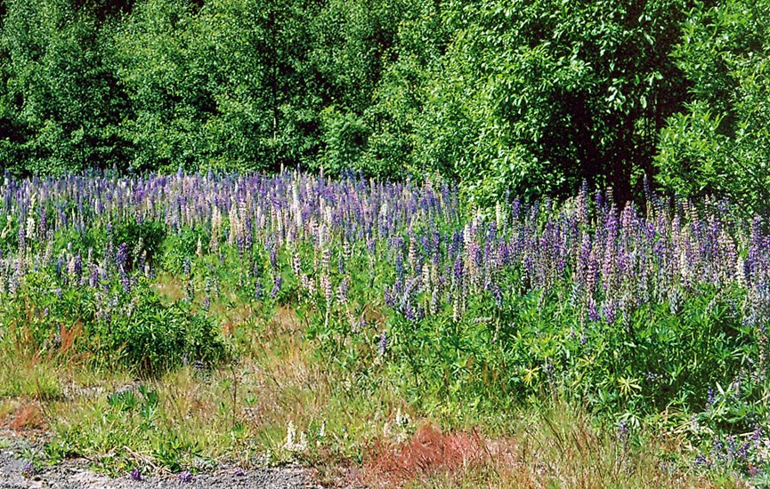 Lupinus polyphyllus (garden lupin); habit, growing on a forest edge.