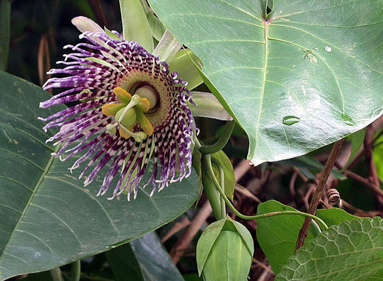Passiflora ligularis (sweet granadilla); flower. Now pantropical from an origin in the neotropical highlands. West of Baeza, Ecuador. January 2012.