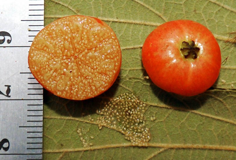 Muntingia calabura (Jamaica cherry); ripe fruit, sectioned to show seeds. Note mm scale. Puerto Rico. September 2016.
