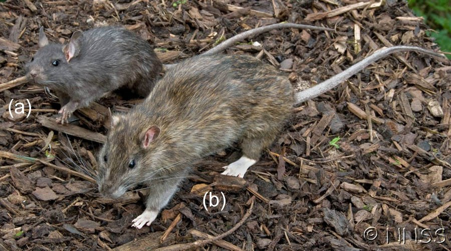 Rattus species comparison; (a) Rattus rattus (black rat). (b) Rattus norvegicus (brown rat). Museum mounted taxidermy specimens.